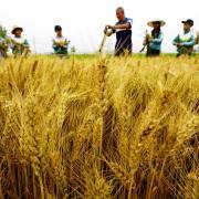 WTO: Trung Quốc trợ giá quá nhiều cho một số sản phẩm nông nghiệp