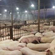 TP.HCM họp khẩn ứng phó với bệnh tả lợn châu Phi