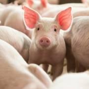 Sản lượng thịt heo Trung Quốc sẽ giảm ít nhất 10% trong năm 2019