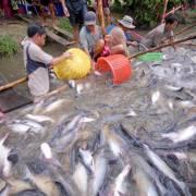 Thủy sản gặp khó vì nhân dân tệ mất giá
