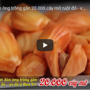 [Video] Về Bến Tre tham quan mô hình khởi nghiệp 20.000 cây mít ruột đỏ – xơ đỏ
