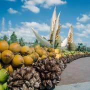 Dừa Bến Tre ngày càng được thế giới ưa chuộng