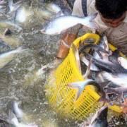 Không được hưởng lợi từ thương chiến, xuất cá tra sang Mỹ giảm mạnh