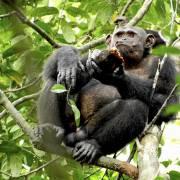 Anh: Phẫn nộ thịt khỉ lên bàn ăn nhà giàu