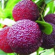 Thanh mai đỏ – siêu trái cây mới của Úc