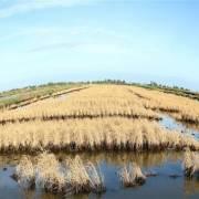 Xâm nhập mặn còn tăng ở vựa lúa ĐBSCL
