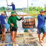 ĐBSCL: Cá tra bị thiệt hại kép