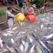 Thuế chống bán phá giá cá tra VN vào Mỹ giảm mạnh