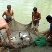 Doanh nghiệp cá tra 'khát' kho lạnh dự trữ