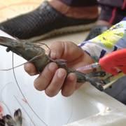 Một thương lái ở Cà Mau bị phạt 60 triệu đồng vì bơm tạp chất vào tôm
