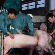 8 doanh nghiệp Thái Lan được phép xuất khẩu lợn sống vào Việt Nam