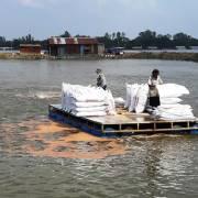 Nhiều hộ nuôi cá tra ở ĐBSCL lỗ nặng