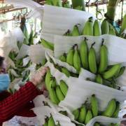 Đồng Nai: Chuối rớt giá do xuất khẩu sang Trung Quốc gặp khó