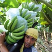 Philippines có thể thua trong cuộc chiến xuất khẩu chuối