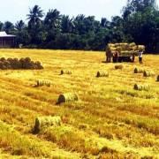 30.000 tấn gạo thơm ĐBSCL được hưởng thuế suất 0% khi sang EU