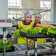Xuất khẩu chuối của Campuchia tăng mạnh
