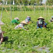 An Giang chuyển đất trồng lúa sang trồng cây ăn trái