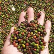 Campuchia lên kế hoạch tăng sản lượng hạt tiêu xuất khẩu