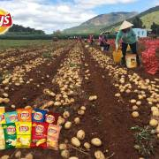 PepsiCo trồng khoai tây ở Tây Nguyên