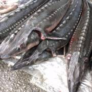 Kiểm tra chặt chẽ hoạt động nhập khẩu cá tầm Trung Quốc