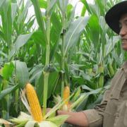 Ngô biến đổi gen ở Việt Nam tăng diện tích 26 lần trong 5 năm