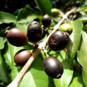 Cà phê Stenophylla – tương lai của ngành cà phê thế giới?