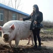 Nghịch lý heo béo phì và heo khổng lồ ở Trung Quốc