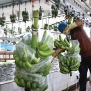 5 tháng, Campuchia xuất khẩu hơn 200.000 tấn chuối