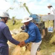 ĐBSCL dư gạo xuất khẩu, nhưng thiếu đến 75.000 tấn lúa giống vụ tới