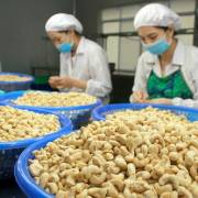 Nhập khẩu hạt điều từ Campuchia quá lớn, có đáng lo?