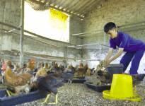 Hoàng Kim Vị với mơ ước nuôi gà sinh thái