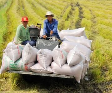 Nghịch lý: gạo ngon, giá bèo?