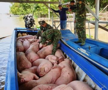 Bắt 1,8 tấn heo vận chuyển trái phép từ Campuchia vào An Giang