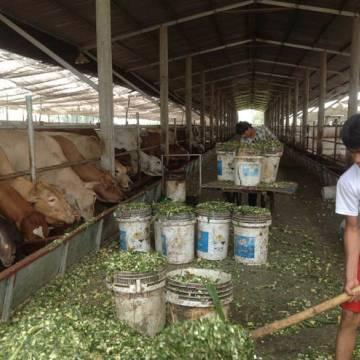 Doanh nghiệp đầu tư nuôi bò khó có ăn