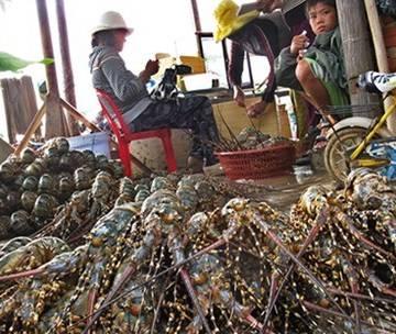 Thương lái Trung Quốc độc quyền ép giá mua tôm hùm
