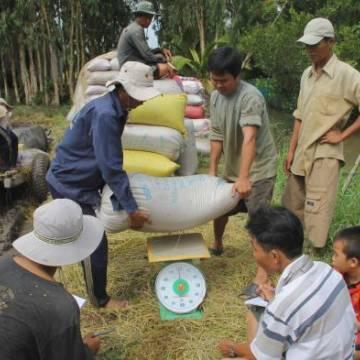 Hậu Giang: Giá lúa tăng cao, nông dân mất tiền tỷ vào tay 'cò lúa'