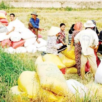 Giá lúa ở ĐBSCL lại tăng cao