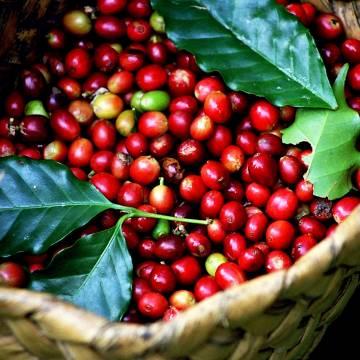 Đầu tư nguyên liệu nâng cao giá trị xuất khẩu cà phê