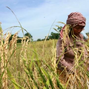 Ông Hun Sen kêu gọi nông dân trồng lúa Campuchia 'nói không' với hóa chất