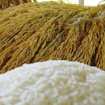 Có thể phải ngồi tù nếu đầu cơ gạo nếp ở Thái Lan