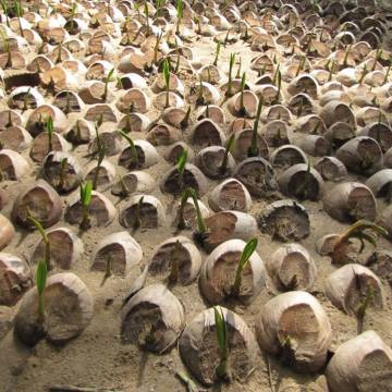 'Trồng' chuỗi giá trị bền vững cho cây dừa Bến Tre