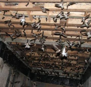 Ngành nuôi chim yến gặp khó vì thiếu quy hoạch