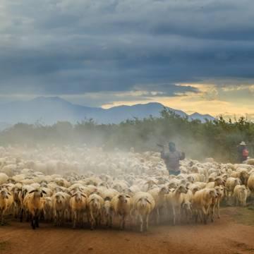 [Photo] Cừu Ninh Thuận