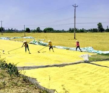 ĐBSCL: Lúa gạo trúng mùa, được giá