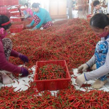 Xoài, ớt, khoai lang cũng rớt giá thảm do Trung Quốc ngừng thu mua