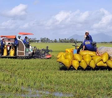 ĐBSCL: Giá lúa tăng nhẹ sau quyết định cho xuất khẩu gạo trở lại