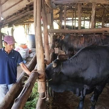 Công bố nhãn hiệu bò thịt chất lượng cao Bình Định