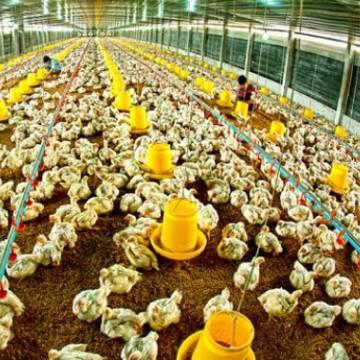 Phạt tới 50 triệu đồng cá nhân vi phạm trong hoạt động chăn nuôi