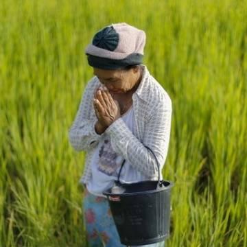 Chiến lược lúa gạo mới của Thái Lan chú trọng vào sản lượng và cây giống