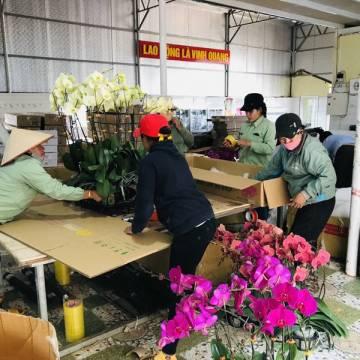 Cảnh báo hoa lan Trung Quốc đội lốt hoa Đà Lạt